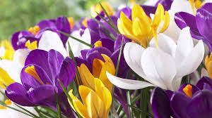 plants native to illinois wild crocus or snow crocus bulbs mix american meadows