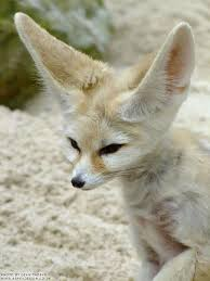 fun facts about cute animals u2013 fennec fox explore awesome