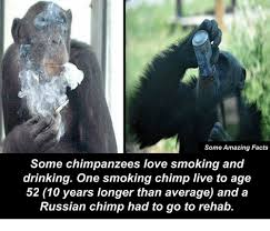 Chimp Meme - some amazing facts some chimpanzees love smoking and drinking one