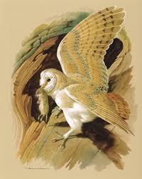 the barn owl vintage 1965 bird print by basil ede owl bird
