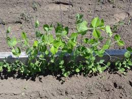 how to grow sugar snap peas part 3 2013 youtube