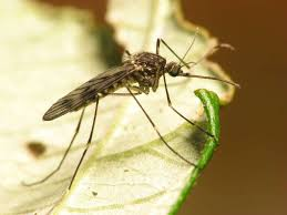 repelling mosquitoes naturally san antonio express news