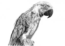 pencil sketch of parrot drawing sketch picture
