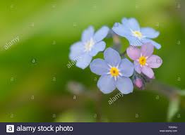 forget me nots myosotis small blue and pink flower stock