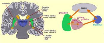 Thalamus Part Of The Brain The Brain From Top To Bottom
