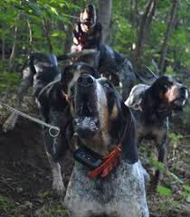 bluetick coonhound reviews chubbs the best bluetick coonhound we have ever had rip my love