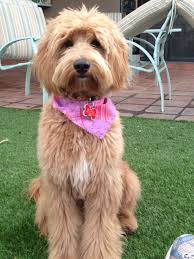 labradoodle hairstyles best 25 labradoodle haircuts ideas on pinterest goldendoodle