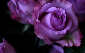 purple roses images of purple roses