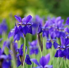 iris flowers iris iris flower iris flowers