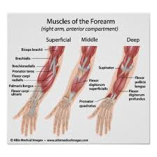 Human Anatomy Muscle Best 25 Muscles Of Upper Limb Ideas Only On Pinterest Arm
