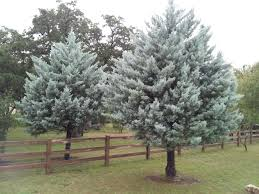 six living christmas trees for south texas landscapes garden