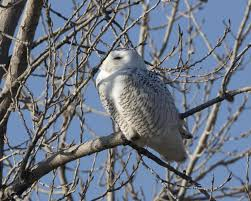 snowy owls to missouri are visiting the kansas city area