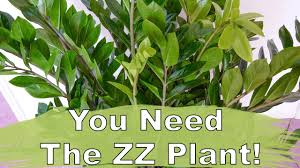 Tree Care Tips To Make by The Awesome Zz Plant Care U0026 Repotting Tips Youtube