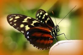 butterfly on my husbands finger picture of niagara parks butterfly