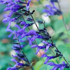 Purple And Blue Flowers Salvia
