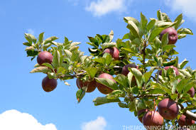 Best Fruit Trees For North Carolina - apples archives the morning fresh