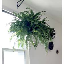 Decorating Home With Plants Delray Plants Boston Fern In 10