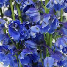 delphinium flower blue designer delphinium flower