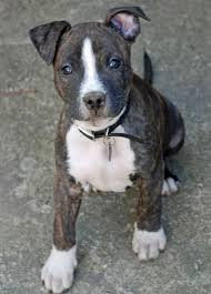 jack russell american pitbull terrier mix 10 dog toys you can make from things around the house pitbull