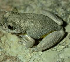 frogs of texas herps of texas
