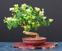Fragrant Climbing Plant - hall u0027s japanese honeysuckle seeds liana aromatic flower