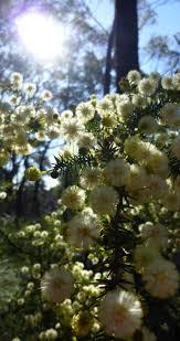 australis plants australian native plants australian native flora u2013 nutsaboutplants