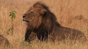 lethal lioness pride world u0027s deadliest video nat geo wild