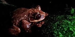 the loneliest frog in the world huffpost
