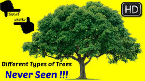 different types of trees evergreen trees i different types of trees i different kinds of tree