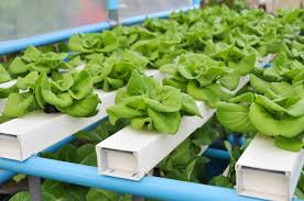 growing hydroponic spinach youtube