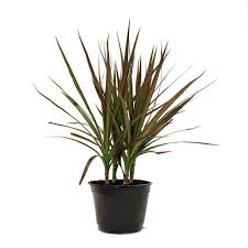 home plants delray plants dracaena marginata in 6 in pot 6marg the home depot