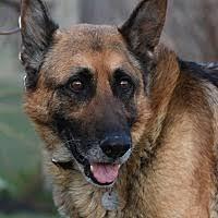 chow chow x belgian malinois hamilton mt pet adoption montana german shepherd belgian