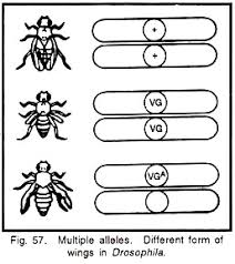 alleles meaning characteristics and exles genes