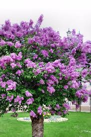 lilac trees are a good choice for most any landscape lilacs have