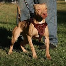 american pitbull terrier breeders st louis atomic dogg magazine page 11 pitbulls go pitbull dog forums