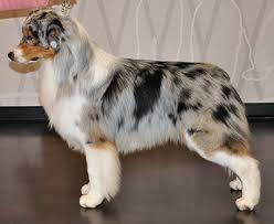 australian shepherd quinn shadomoon aussies bred by