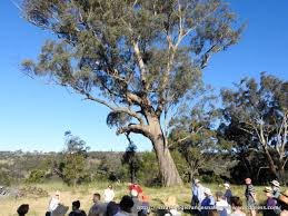 and celebrate we did magnificent paddock trees strathbogie