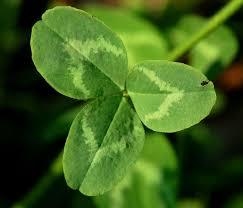historyof irish shamrocks and 4 leaf clovers