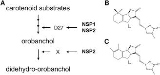 strigolactone biosynthesis in medicago truncatula and rice