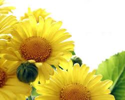 foto wallpaper bunga matahari sunflower wallpaper 17 wallpapers13 com