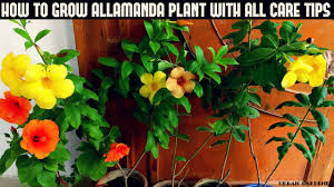 how to grow allamanda plant with all care tips fast n easy youtube