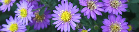 fall flowering plants for sale best fall perennials fall