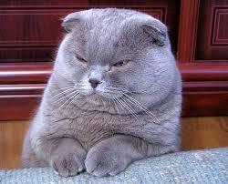 Sho Kucing Anti Jamur makanan kucing yang dijual di petshop thai jenis kucing g4 kucing biz
