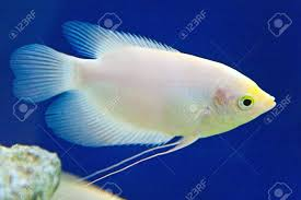 ornamental fish in aquarium stock photo picture and royalty free