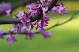 ornamental trees central virginia home magazine