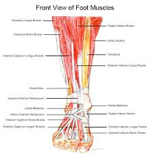 Outside Ear Anatomy Muscles Tendons U0026 Ligaments Of The Foot U0026 Ankle Foot Anatomy