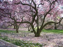 ehejojinud magnolia tree