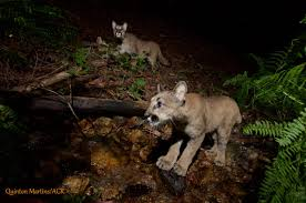 North Bay Fire Hall Ny by Mountain Lion Kittens Caught On Camera In North Bay Sfgate