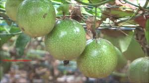 passion fruit cultivation on plastic net youtube