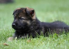 belgian shepherd dog club of canada united schutzhund clubs of america german shepherd dog trainers